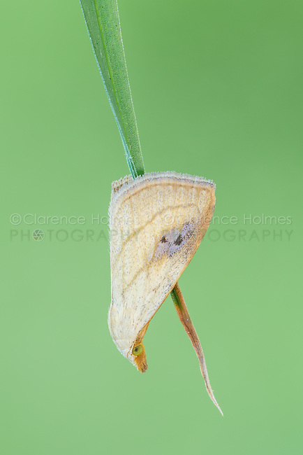 A Spotted Grass Moth (Rivula propinqualis) clings to a blade of grass.