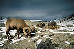 Bighorn Sheep, Yellowstone National Park, Wyoming, USA