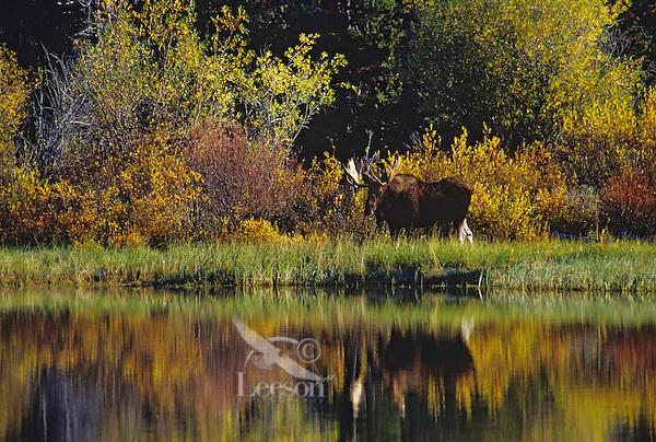 Bull moose (Alces alces), Western U.S., fall.