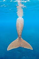 dugong, sea cow, Dugong dugon, fluke, showing scars, Indo-Pacific Ocean