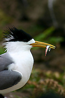 Crested Tern with catch during the New South Wales South Coast and Coastal Island bird surveys