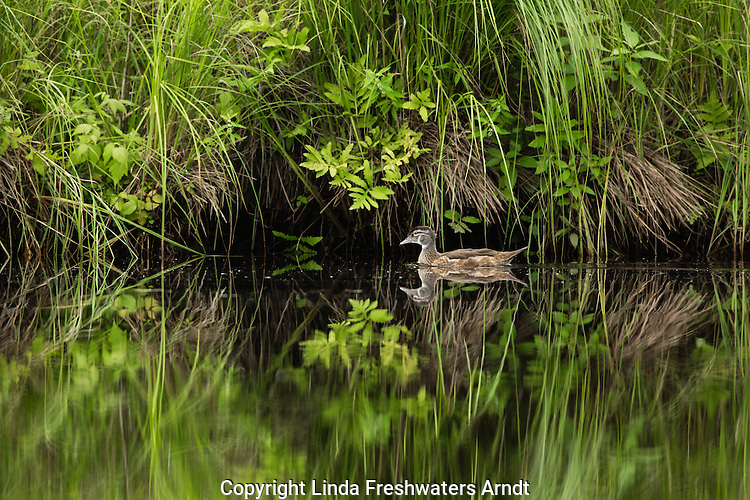 Immature male wood duck on the East fork of the Chippewa River