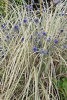 Eryngium planum Blaukappe in blue flowers with ornamental grass Miscanthus sinensis plant combination