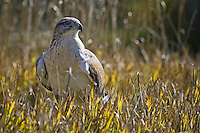 Ferruginous Hawk standing in some grass