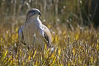 Ferruginous Hawk standing in some grass