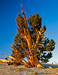 Inyo National Forest, CA: Morning light on a bristlecone pine (Pinus longaeva) in the Patriarch Grove of the Ancient Bristlecone Pine Forest
