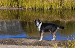 A Australian shepherd swims in the river in Hope Valley on Oct. 8, 2009, near South Lake Tahoe, Ca..Photo by Cathleen Allison.