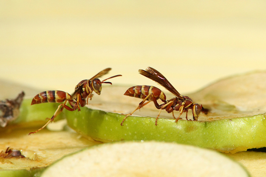 Golden Paper Wasp (Polistes fuscatus), and apple slices. AKA the Northern Paper Wasp.