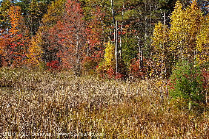 Fall foliage in a wetlands area at Pawtuckaway State Park in Nottingham, New Hampshire, during the autumn months.
