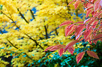 Red fall color on branch of variegated dogwood tree (Cornus florida 'Cherokee Sunset') with Japanese maple beyond; Autumn  Edelson Garden