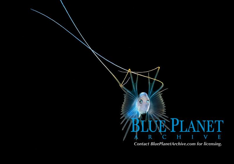 bathypelagic species of cusk-eel, species identification unknown. photographed at 50 feet during a Black Water drift dive in waters 700+ feet deep, Palm Beach, Florida, U.S.A.   Atlantic Ocean.