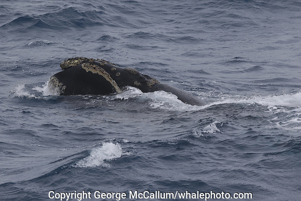 Southern Right whale Eubalaena australis, Male, Surfacing and spouting, South Orkney islands, Scotia Sea, Southern Ocean, Antarctica