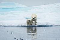 polar bear, Ursus maritimus, mother, cub, playing on iceberg, Baffin Island, Nunavut, Canada, Arctic Ocean