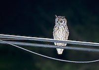 Tropical screech owl, Otus choliba, on a utility wire near Jacó, Costa Rica
