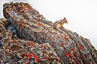A view of a Columbian Ground Squirrel at the top of Sulphur Mountain in Banff with a smokey background from the BC forest fires.