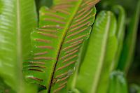 Hirschzungenfarn, Hirschzunge, Hirschzungen-Farn, Asplenium scolopendrium, Phyllitis scolopendrium, Sporangien auf Blattunterseite in Sori, Hart´s Tongue Fern, Scoloendre