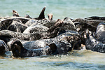 Gray Seals hauled out on the Chatham Bars, Cape Cod.  Close-up of seal facing camera displaying typical arched back.