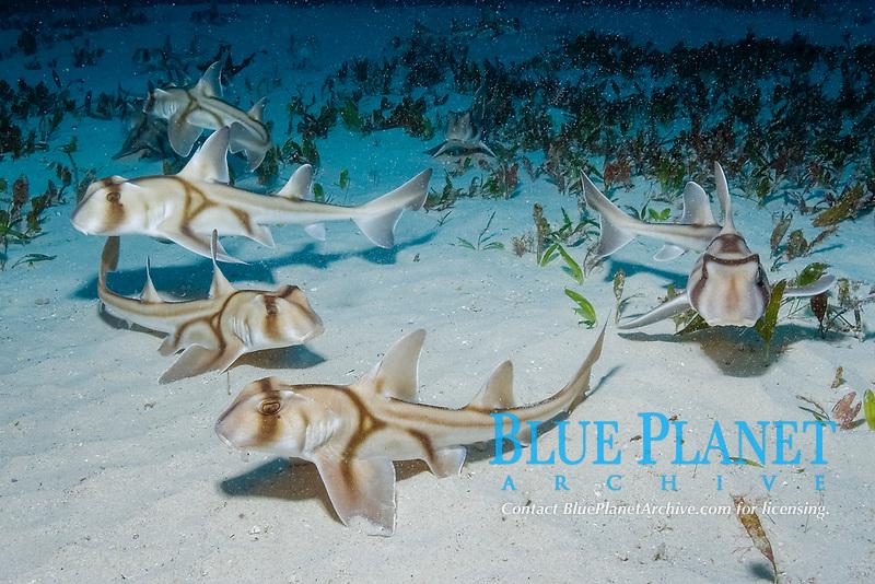 aggregation of juvenile Port Jackson shark, Heterodontus portusjacksoni, Albany, Western Australia, Indian Ocean