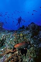 diver and tiger grouper, Mycteroperca tigris at Shark Shoals pinnacle, Saba Island, Netherlands Antilles (Eastern Caribbean Sea, Atlantic) , Atlantic