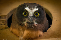 Fledgling Saw-Whet Owls peek out from their nest box in Southcentral Alaska.