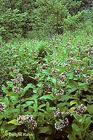 MK16-003e  Milkweed - field of milkweed plants in bloom - Asclepias syriaca