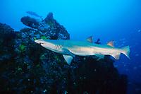 sand tiger (gray nurse) shark, Carcharias taurus (formerly Odontaspis (Eugomophodus), wreck of the Caribsea, North Carolina, USA, Atlantic Ocean