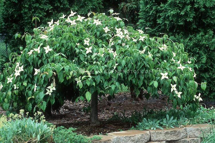 Cornus kousa Korean Dogwood in bloom shows entire tree in spring in garden