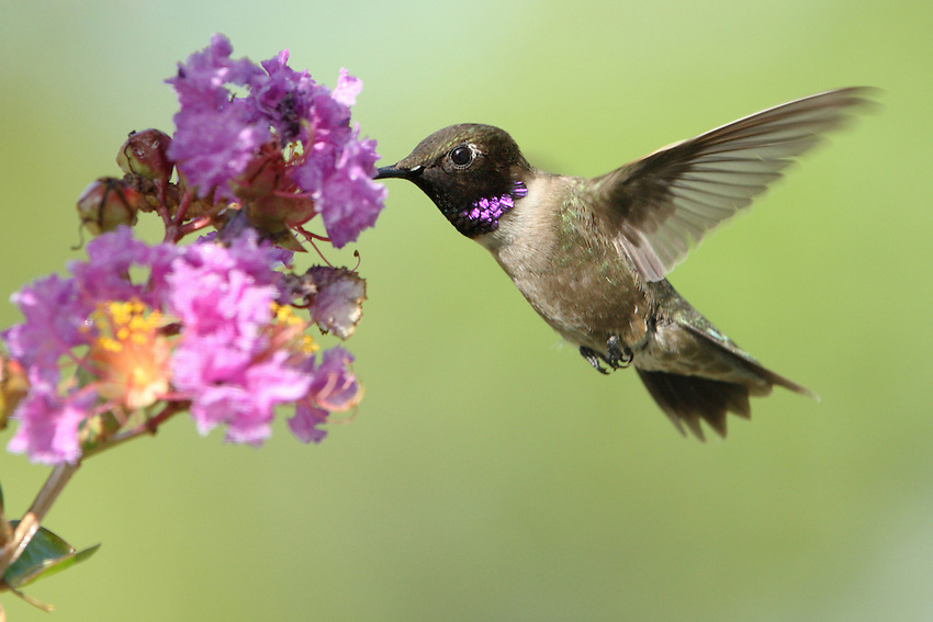 A small green-backed hummingbird of the West, with no brilliant colors on its throat except a thin strip of iridescent purple bordering the black chin, only visible when light hits it just right.