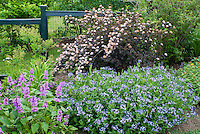 Physocarpus Diablo & Stachys macrantha in late spring bloom, June, blue flowered Amsonia taberaemontana hybrid Blue Ice