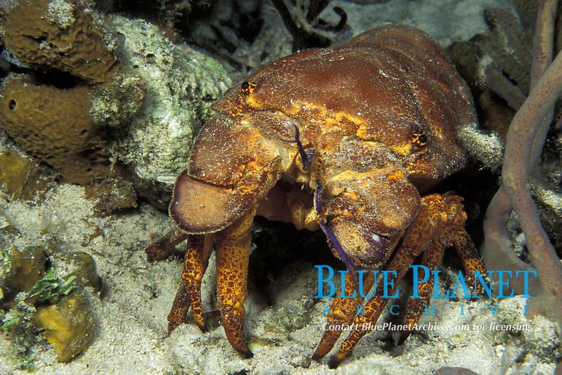 Spanish lobster, Scyllarides aequinoctialis, Bahamas