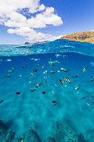 Tropical fish swimming in the clear waters off of Leeward O'ahu.