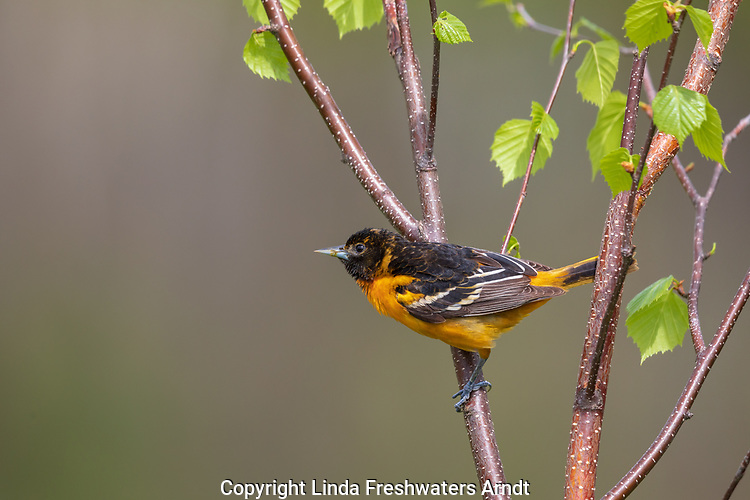 Baltimore oriole - male perched in a speckled alder.
