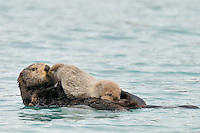 Alaskan or Northern Sea Otter (Enhydra lutris) mother with very young pup.  Mom is grooming her pup while it nurses.