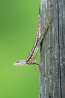 Texas Spiny Lizard (Sceloperus olivaceus), adult , Rio Grande Valley, Texas, USA