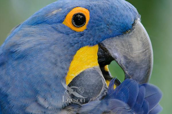 Hyacinth Macaw (Anodorhynchus hyacinthinus) preening.