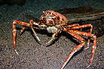 Japanses spider crab.  This species can grow to be more than 7 feet in diamater. Full body view.