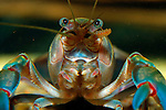 Smooth Yabby, Australia
