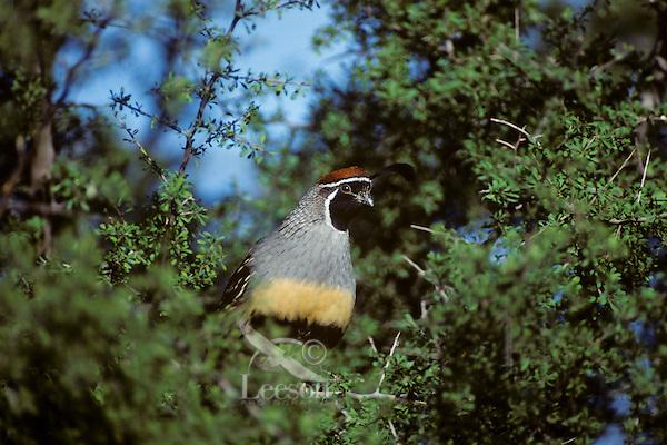 Male Gambel's Quail, Sonoran Desert, Arizona.  March.