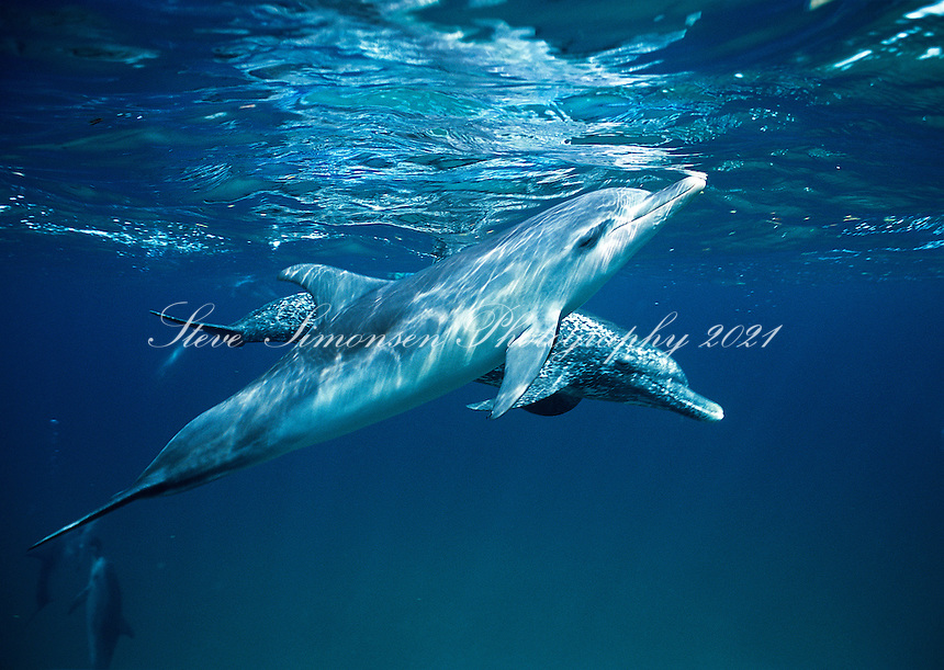Spotted dolphins<br /> Bimini<br /> Bahamas