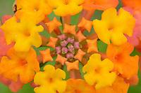 Texas Lantana (Lantana urticoides), Hill Country, Texas, USA