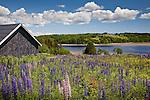 Lupine meadow in Machiasport, Downeast ME