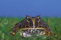 "ORNATE HORNED FROG..aka 'Pac Man"" frog in pet trade..Native to Argentina. Captive..Ceratophryinae ornata."