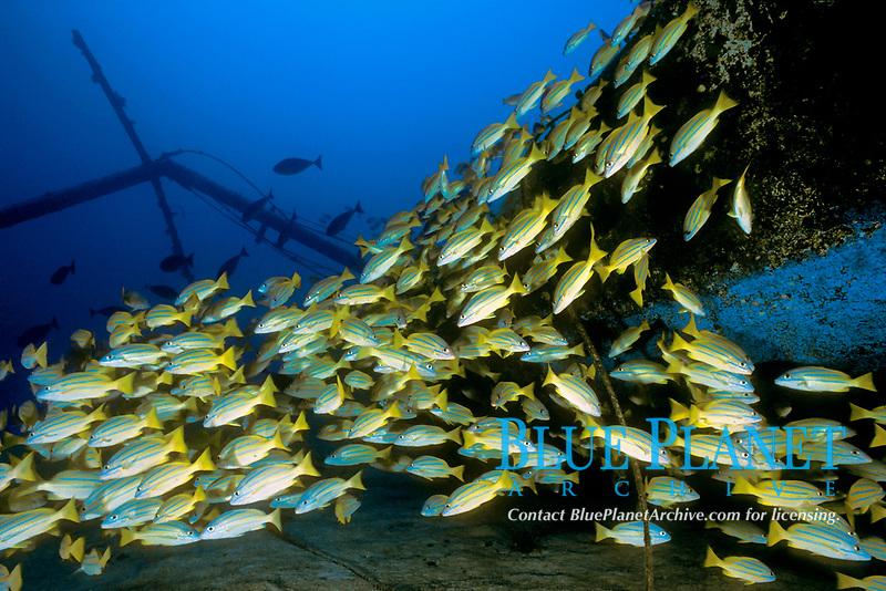 schooling bluestripe snappers, Lutjanus kasmira, Sailboat wreck, Kona, Big Island, Hawaii, Pacific Ocean