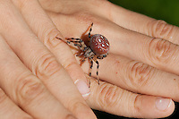 """Vierfleck-Kreuzspinne, Vierfleckkreuzspinne, läuft auf Kinderhand, Kind mit Spinne, """"Keine Angst vor Spinnen!"""", Weibchen, Kreuzspinne, Araneus quadratus, fourspotted orbweaver, Araneidae, Radnetzspinnen, Kreuzspinnen, orbweavers, orb-weaving spiders"""