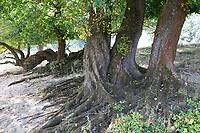 Flatterulme, in den Elbtalauen, Auen, Rinde, Borke, Stamm, Wurzeln, Flatter-Ulme, Ulme, Flatterrüster, Blatt, Blätter, Ulmus laevis, Ulmus effusa, European White Elm, Fluttering Elm, Spreading Elm, Russian Elm, Elm