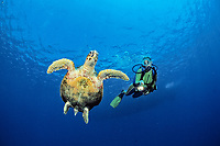 scuba diver observes a hawksbill turtle, Eretmochelys imbricata, Egypt, Zabargad, Zabarghad, Red Sea, Northern Africa