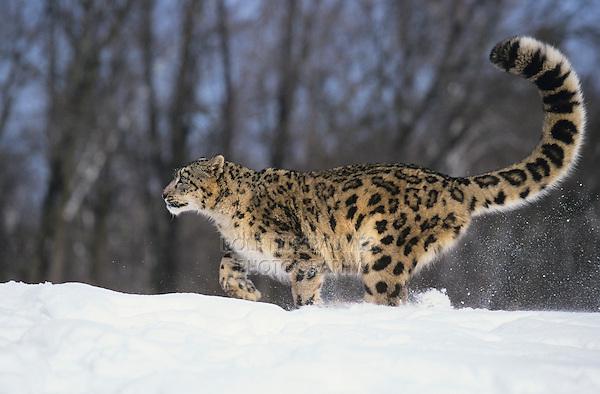 Snow Leopard (Uncia uncia) (Panthera uncia), adult walking, captive, USA