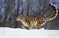 Snow Leopard (Uncia uncia) (Panthera uncia), adult walking, captive, USA