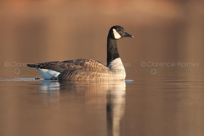 Canada Goose (Branta canadensis) swimming