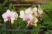Gisela, FLOWERS, BLUMEN, FLORES, photos+++++,DTGK2555,#f#, EVERYDAY ,orchids